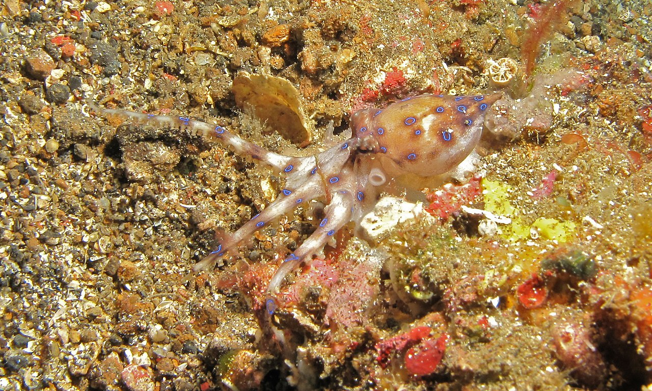 wiki blue ringed octopus