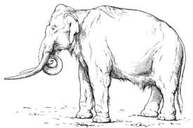 Southern Mammoth Mammuthus meridionalis 2.png