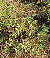 Sphaeranthus indicus 16.JPG