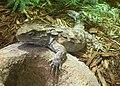 Sphenodon punctatus (4).jpg
