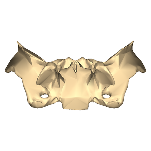 file:sphenoid bone - close-up - inferior view - wikimedia commons, Human Body