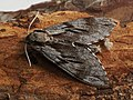 Sphinx pinastri - Pine hawk-moth - Бражник сосновый (43173295864).jpg