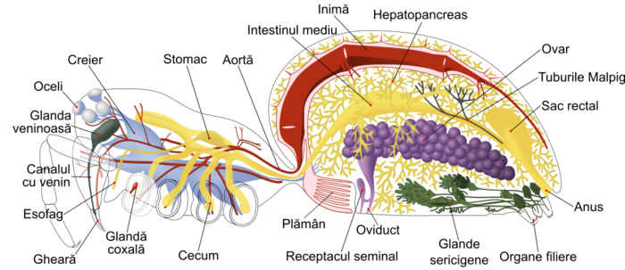 Spider internal anatomy-RO.png