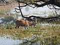 Spotted Deer Axis axis by Dr. Raju Kasambe DSCN2082 (5).jpg