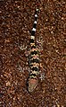 Spotted Leaf-toed Gecko Hemidactylus maculatus by Dr. Raju Kasambe DSCN8001 (2).jpg