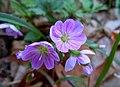 Spring beauty (6954134462).jpg