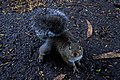 Squirrel (20142062638).jpg