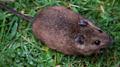 St Kilda field mouse (Apodemus sylvaticus hirtensis).png