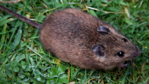 St Kilda field mouse - Image: St Kilda field mouse (Apodemus sylvaticus hirtensis)