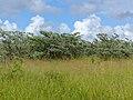 Stand of Silver Clusterleafs (Terminalia sericea) (13951275834).jpg