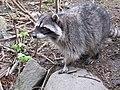 Stanley Park - Raccoon (4468496193).jpg