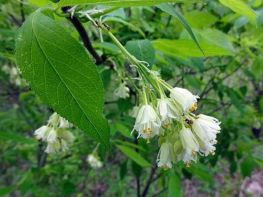 Staphylea trifolia SCA-3464.jpg