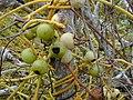 Starr-010520-0082-Cassytha filiformis-fruits-Inland-Kure Atoll (23905975423).jpg