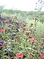 Starr-040513-0046-Zinnia peruviana-flowers-Puu o Kali-Maui (24334607279).jpg