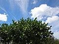 Starr-041028-0235-Clusia rosea-habit-Hawea Pt-Maui (24624914951).jpg