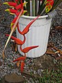 Starr-090617-1016-Heliconia sp-possibly colgantea or nutans with rostrata flowers-Haiku-Maui (24597750559).jpg