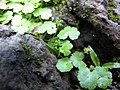 Starr-090702-2012-Hydrocotyle sibthorpioides-habit-Chings Pond Hana Hwy-Maui (24341452463).jpg