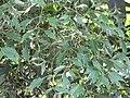 Starr-090720-3018-Polyscias guilfoylei-leaves-Waiehu-Maui (24674602040).jpg