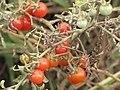 Starr-090814-4325-Solanum lycopersicum-fruit-Industrial area Mokulele Hwy-Maui (24854266132).jpg