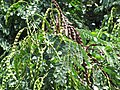 Starr-090814-4393-Adenanthera pavonina-leaves and seedpods-Kihei-Maui (24676873550).jpg