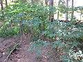 Starr-091104-9171-Carica papaya-habit-Kahanu Gardens NTBG Kaeleku Hana-Maui (24361884633).jpg