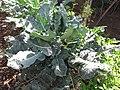 Starr-091108-9378-Brassica oleracea var botrytis-broccoli plant after harvesting florets-Olinda-Maui (24693619410).jpg