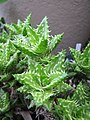 Starr-110218-1558-Aloe squarrosa-leaves-Ulana St Makawao-Maui (24780904220).jpg