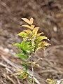 Starr-110411-5016-Myrciaria cauliflora-leaves-Hawea Pl Olinda-Maui (24455314983).jpg