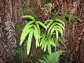 Starr-110920-9129-Pteris cretica-habit-Waiale Gulch-Maui (24482936494).jpg