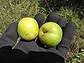Starr-110920-9212-Prunus domestica-green fruit variety-Shibuya Farm Kula-Maui (25113867505).jpg