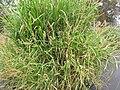 Starr-120608-7253-Cenchrus purpureus-cv Pearl Millet x Dwarf Napier habit-Ulupalakua Ranch-Maui (25118781676).jpg