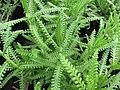 Starr-120613-9683-Lavandula dentata-leaves-Lowes Nursery Kahului-Maui (25145550835).jpg
