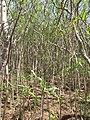 Starr-130321-3717-Thevetia peruviana-habit-Nr Albatross Hill Kilauea Pt NWR-Kauai (24578924194).jpg