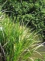 Starr-130322-3778-Zizania latifolia-habit-Hanalei NWR-Kauai (25183369986).jpg