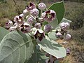 Starr-130422-4172-Calotropis procera-flowers-Kahului-Maui (24842653449).jpg