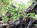 Starr-170304-7195-Pteris cretica-habit in lava channell-Lower Waiohuli Trail Polipoli-Maui (33342476836).jpg