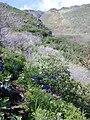 Starr 020112-0044 Panicum xerophilum.jpg