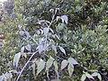 Starr 021126-0002 Rubus glaucus.jpg