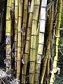 Starr 030807-0121 Bambusa vulgaris.jpg