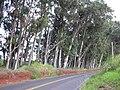 Starr 031002-0025 Eucalyptus globulus.jpg