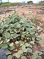 Starr 041102-0365 Solanum nelsonii.jpg