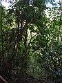 Starr 041113-0667 Nestegis sandwicensis.jpg