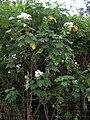 Starr 041127-1225 Montanoa hibiscifolia.jpg