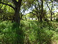 Starr 050108-3000 Prosopis pallida.jpg