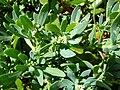 Starr 050222-4212 Heliotropium curassavicum.jpg