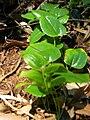 Starr 050628-2619 Smilax melastomifolia.jpg