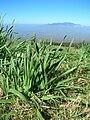 Starr 051224-5770 Narcissus tazetta.jpg