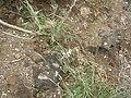 Starr 060228-6338 Chloris barbata.jpg