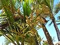 Starr 060922-9130 Chrysalidocarpus lutescens.jpg
