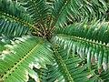 Starr 070306-5127 Encephalartos sp..jpg